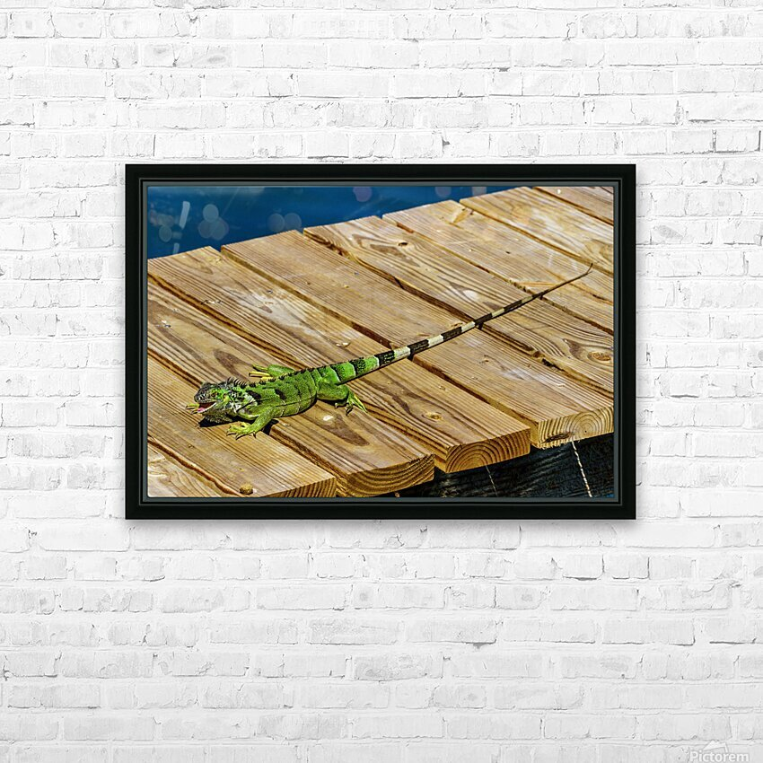 Cayman Green Iguana Eating HD Sublimation Metal print with Decorating Float Frame (BOX)