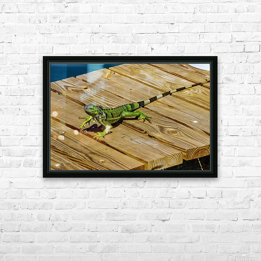 Cayman Green Iguana On Alert HD Sublimation Metal print with Decorating Float Frame (BOX)