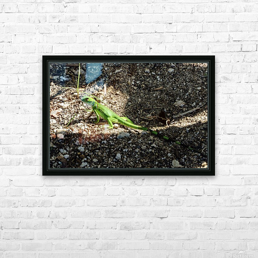 Cayman Young Green Iguana  HD Sublimation Metal print with Decorating Float Frame (BOX)