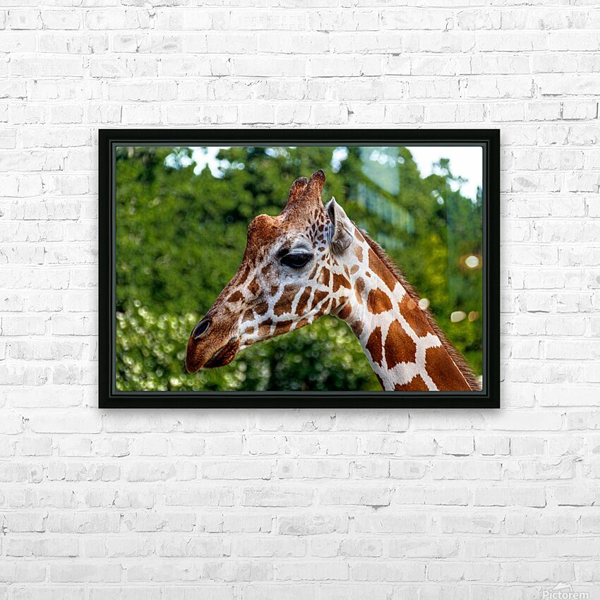 Reticulated Giraffe 1 HD Sublimation Metal print with Decorating Float Frame (BOX)