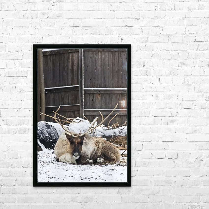 Enjoying the Snow  Caribou   HD Sublimation Metal print with Decorating Float Frame (BOX)