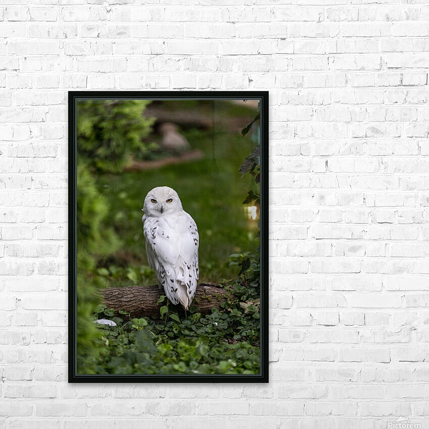 Yellow Eyes  Snow Owl  HD Sublimation Metal print with Decorating Float Frame (BOX)