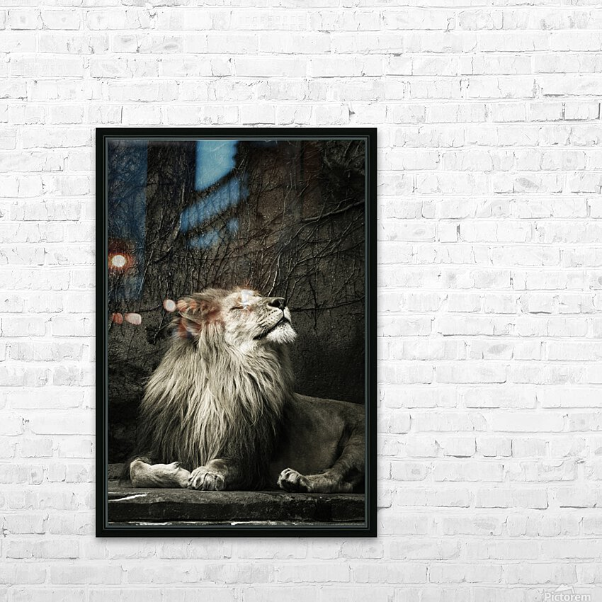 Chill of the Day  Lion  HD Sublimation Metal print with Decorating Float Frame (BOX)