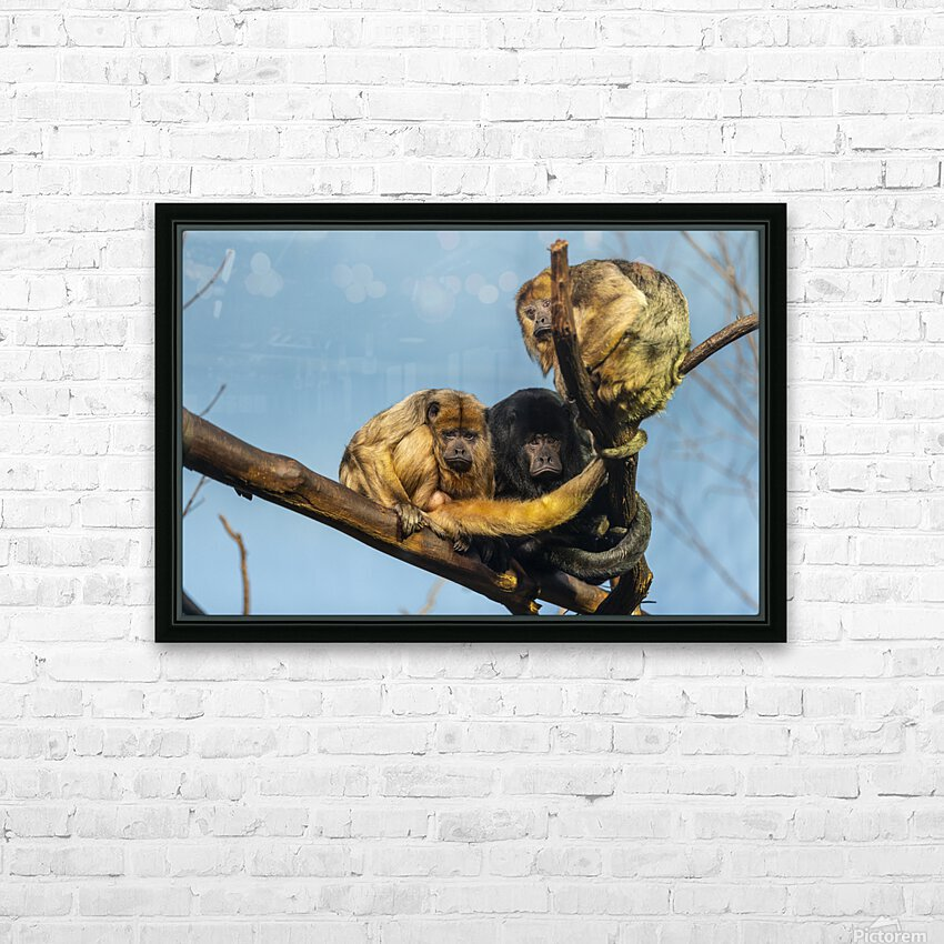 Eyes in the Trees  Howler Monkey  HD Sublimation Metal print with Decorating Float Frame (BOX)