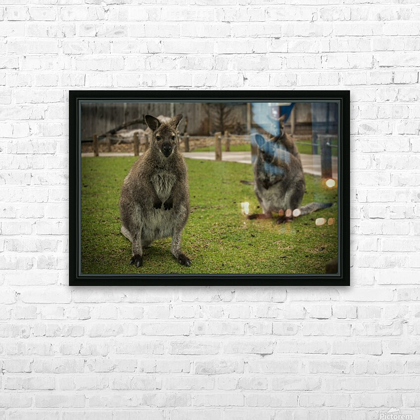 Intriguing   Wallaby  HD Sublimation Metal print with Decorating Float Frame (BOX)