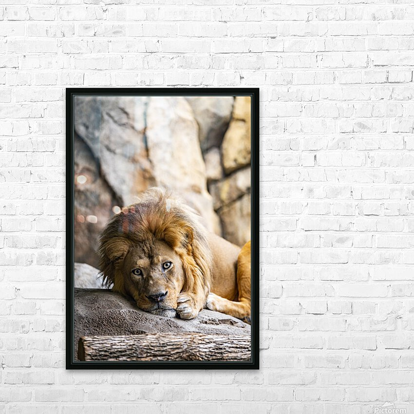 Connection  Lion  HD Sublimation Metal print with Decorating Float Frame (BOX)