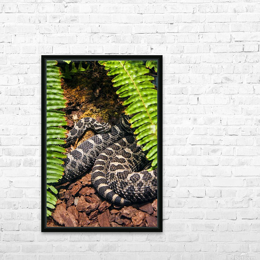 Soaking up Shade   Rattle Snake  HD Sublimation Metal print with Decorating Float Frame (BOX)