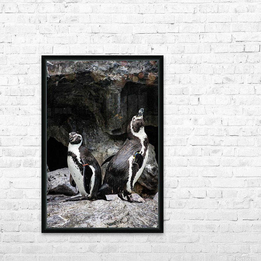 Posing for the Camera  Penguin  HD Sublimation Metal print with Decorating Float Frame (BOX)