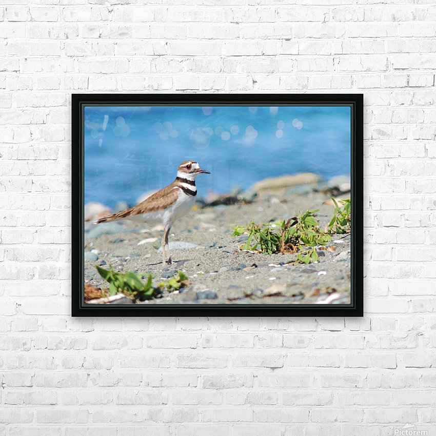 Killdeer on the Beach HD Sublimation Metal print with Decorating Float Frame (BOX)