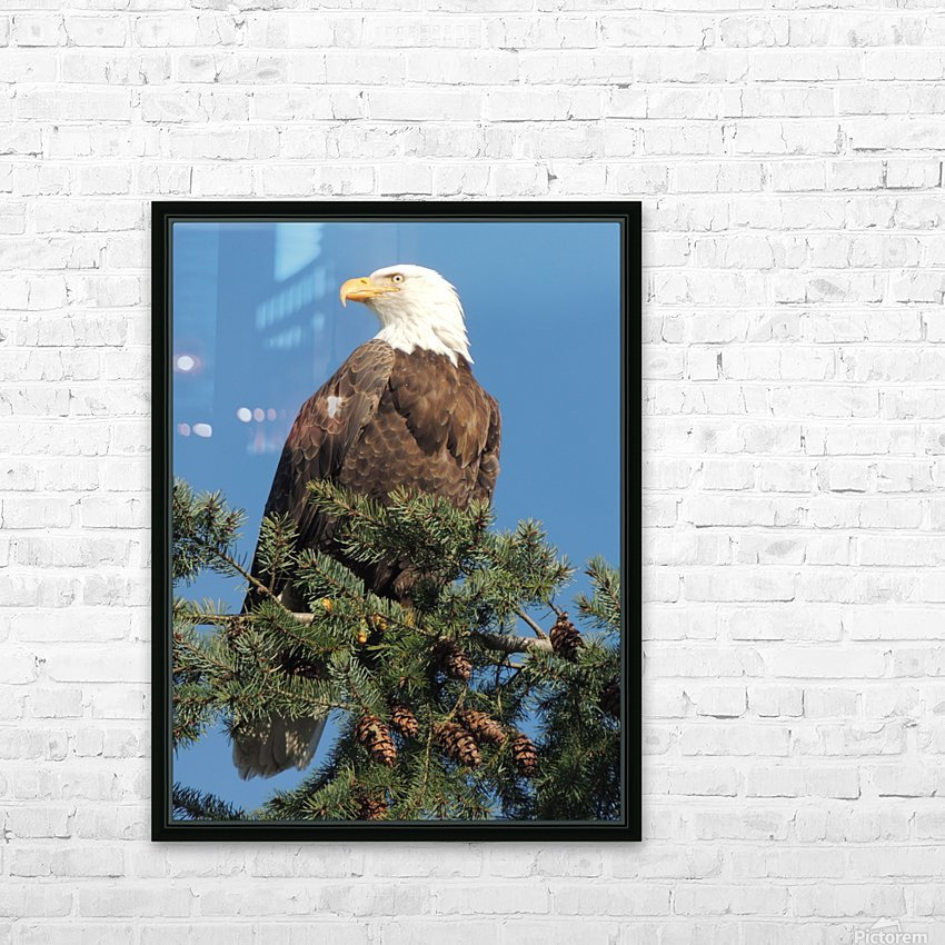 Bald Eagle at Herring Season  HD Sublimation Metal print with Decorating Float Frame (BOX)