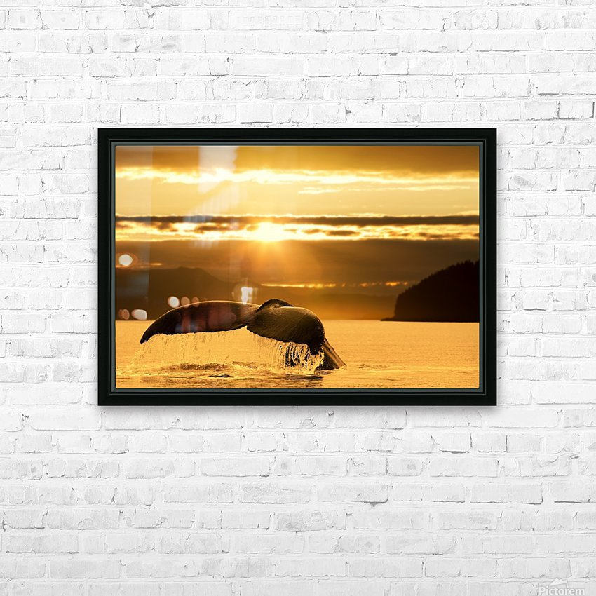 A Humpback Whale returns to the depths of Alaska's Inside Passage as the sun begins to set, Stephens Passage, near Juneau. HD Sublimation Metal print with Decorating Float Frame (BOX)