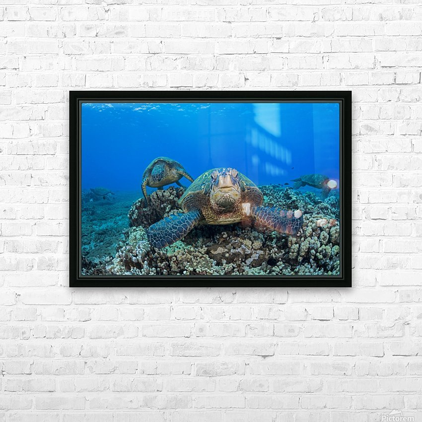 Several green sea turtles (Chelonia mydas), an endangered species, gather at a cleaning station off West Maui; Maui, Hawaii, United States of America HD Sublimation Metal print with Decorating Float Frame (BOX)