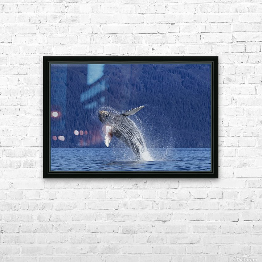 A young Humpback Whale leaps from the calm waters of the Stephens Passage near Tracy Arm, Southeast Alaska, USA. HD Sublimation Metal print with Decorating Float Frame (BOX)