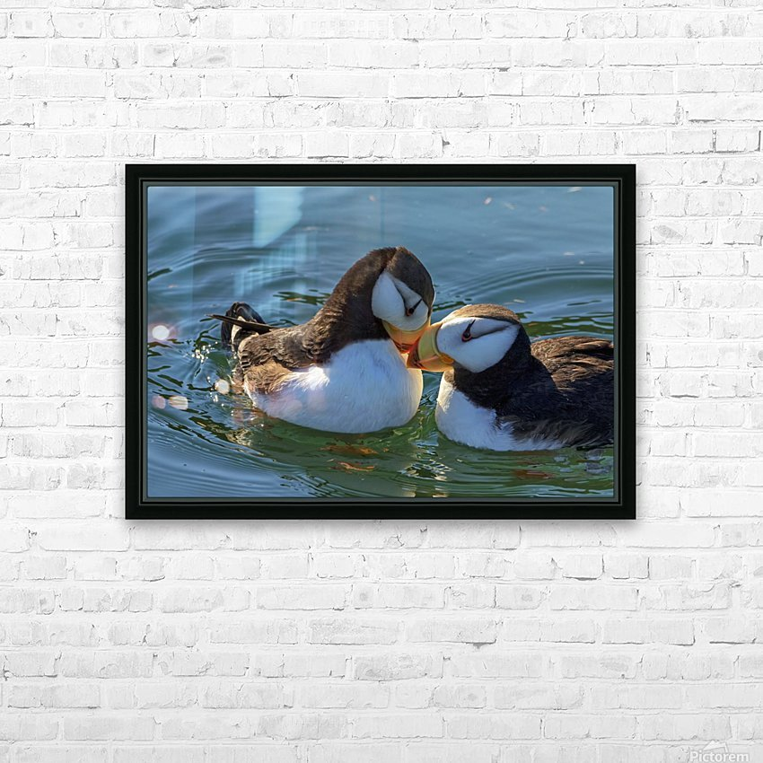 Close up of a pair of Horned Puffins being affectionate, Kodiak, Southwest Alaska HD Sublimation Metal print with Decorating Float Frame (BOX)