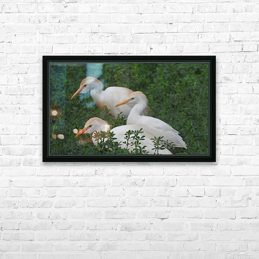 Cattle Egrets HD Sublimation Metal print with Decorating Float Frame (BOX)