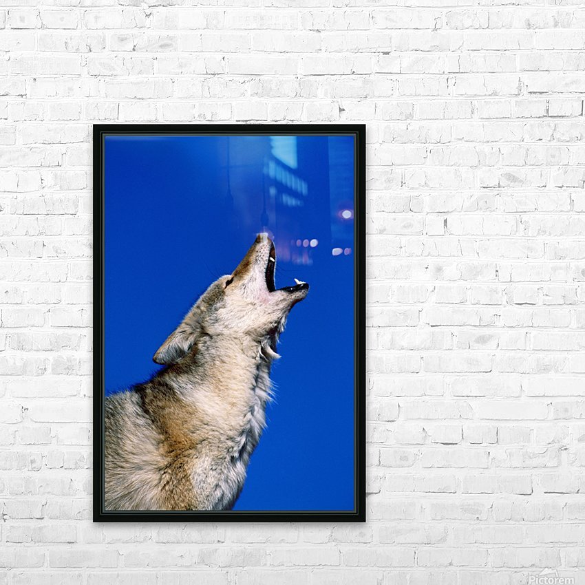 Howling Coyote HD Sublimation Metal print with Decorating Float Frame (BOX)