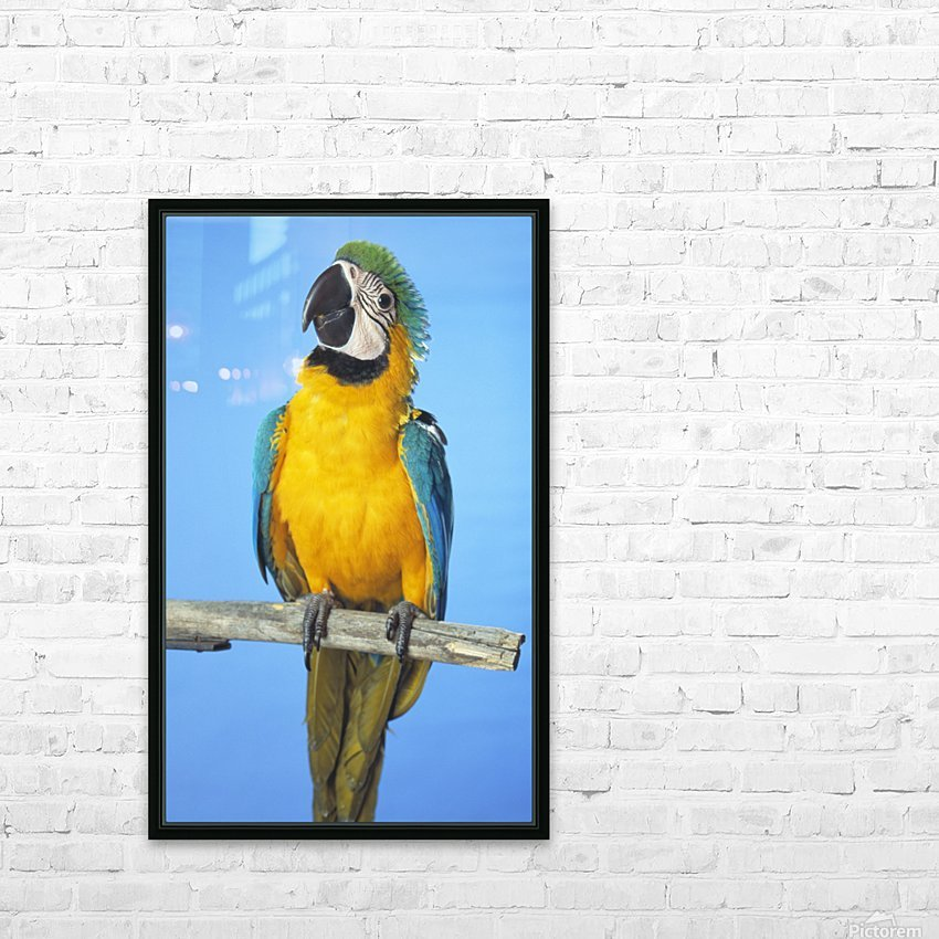 Blue-And-Gold Macaw HD Sublimation Metal print with Decorating Float Frame (BOX)