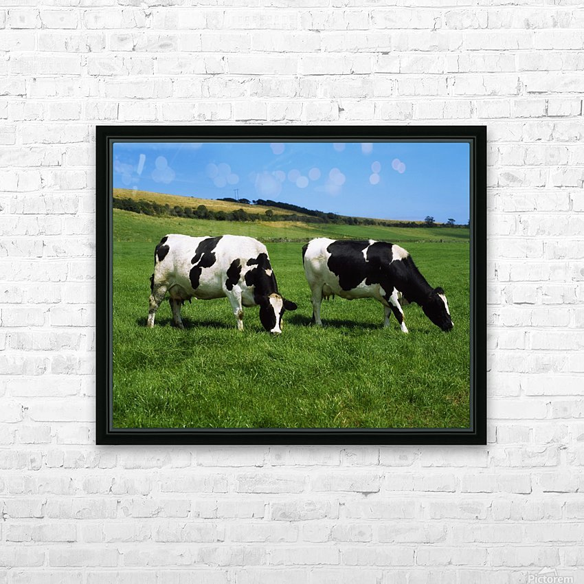 County Cork, Ireland, Dairy Cattle HD Sublimation Metal print with Decorating Float Frame (BOX)