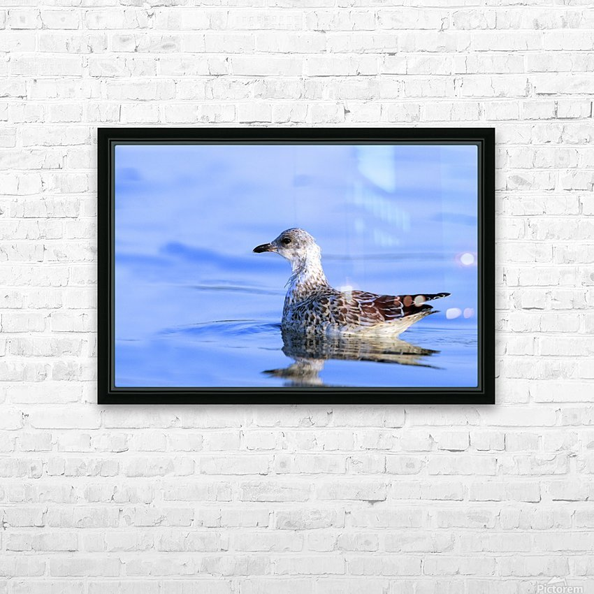 Young Gull Swimming HD Sublimation Metal print with Decorating Float Frame (BOX)