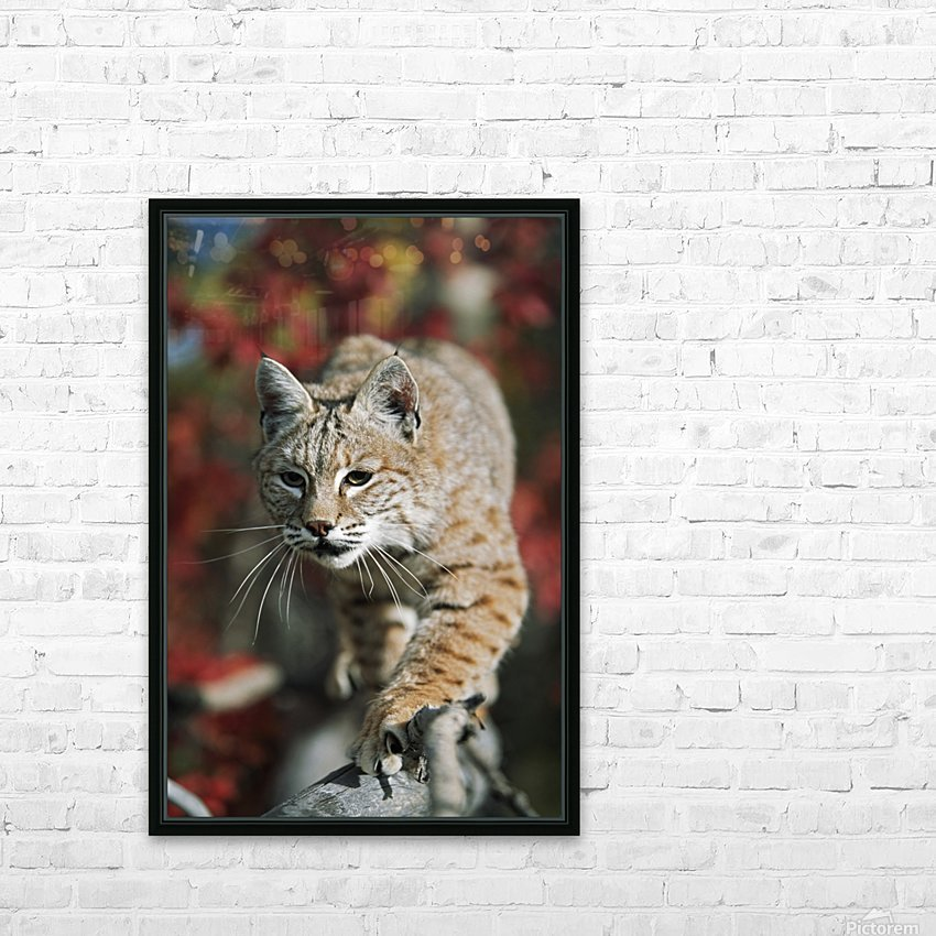 Bobcat (Felis Rufus) Walks Along Branch Through Red Leaves Of A Hawthorn In Autumn; Idaho, Usa HD Sublimation Metal print with Decorating Float Frame (BOX)
