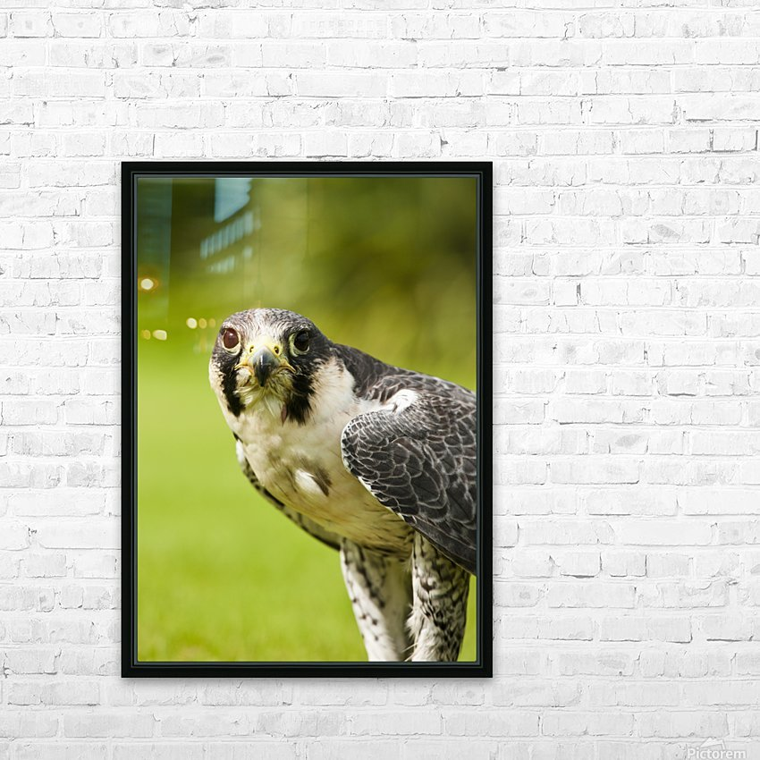 Peregrine Falcon (Falco Peregrinus); Windermere, Cumbria, England HD Sublimation Metal print with Decorating Float Frame (BOX)