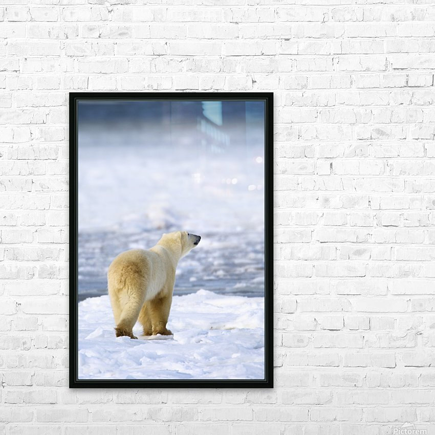 Polar Bear (Ursus Maritimus) Sniffs The Air As He Is On The Hunt For Food; Churchill, Manitoba, Canada HD Sublimation Metal print with Decorating Float Frame (BOX)