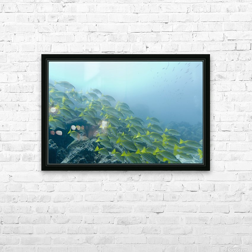 A School Of Fish Swimming Underwater; Galapagos, Equador HD Sublimation Metal print with Decorating Float Frame (BOX)