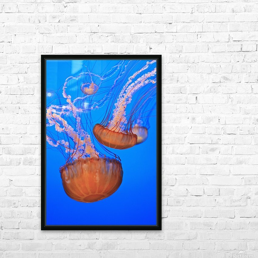 Sea Nettles (Chrysaora Fuscescens) In Monterey Bay Aquarium Display; Monterey, California, United States of America HD Sublimation Metal print with Decorating Float Frame (BOX)