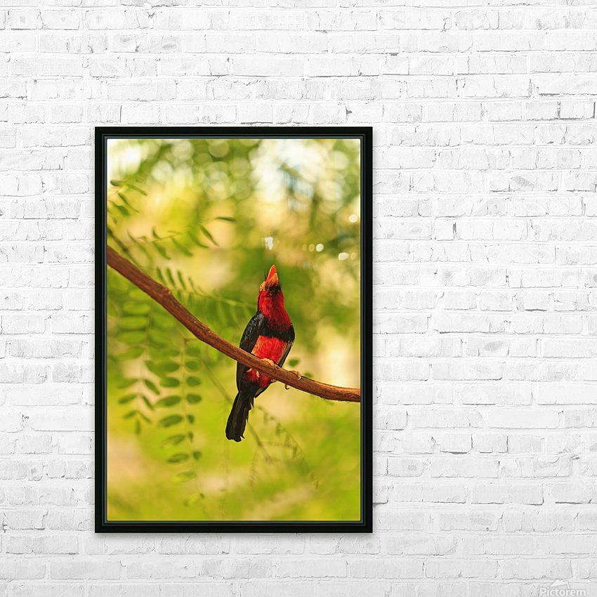 Bearded Barbet (Lybius Dubius) At San Diego Wild Animal Park Near Escondido; California, United States of America HD Sublimation Metal print with Decorating Float Frame (BOX)