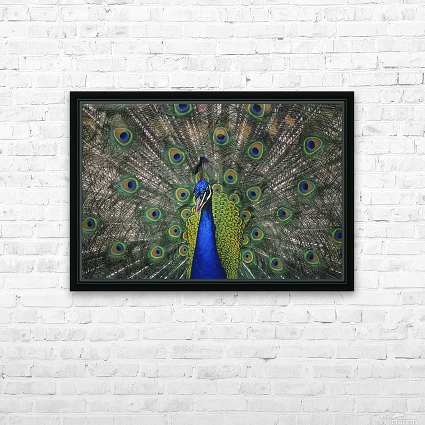 Peacock In Open Feathers, Victoria, Bc Canada HD Sublimation Metal print with Decorating Float Frame (BOX)