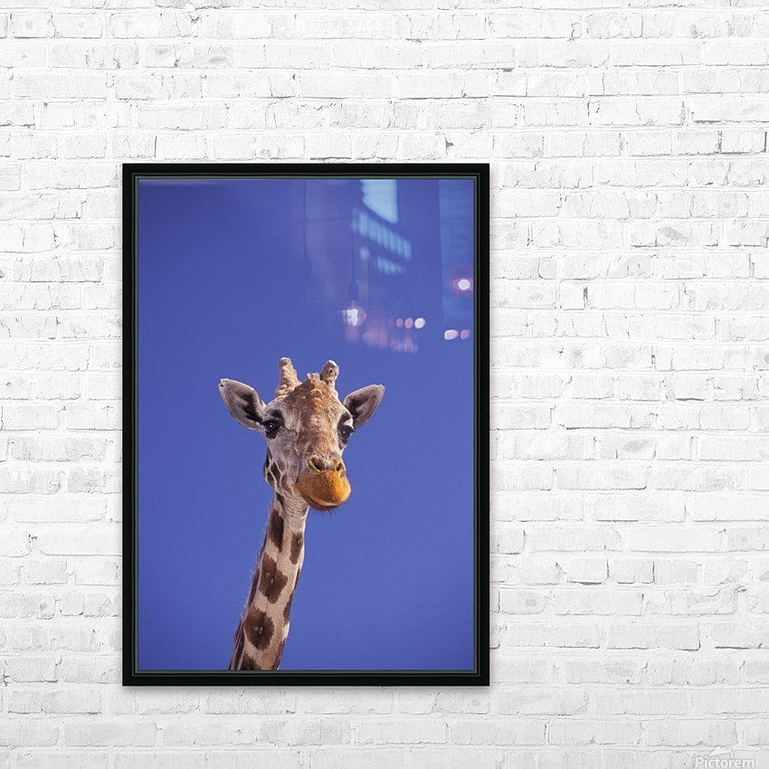 Masai Giraffe, Serengeti, Africa HD Sublimation Metal print with Decorating Float Frame (BOX)