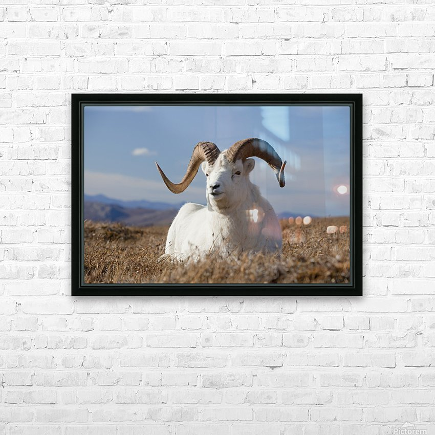 A Dall Sheep Ram Lies On A High Mountain Meadow In Denali National Park And Preserve, Interior Alaska, Autumn HD Sublimation Metal print with Decorating Float Frame (BOX)