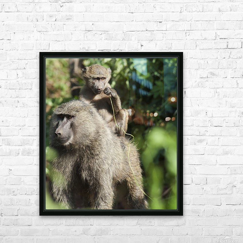 A monkey and it's baby sitting on her back in the maasai mara national reserve;Maasai mara kenya HD Sublimation Metal print with Decorating Float Frame (BOX)