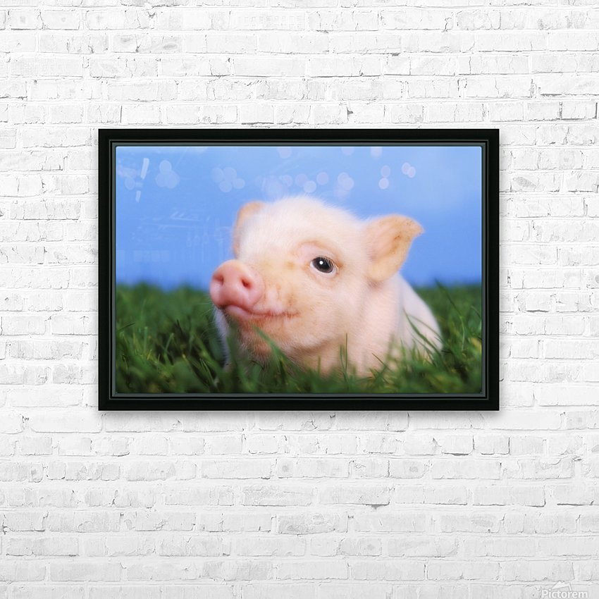 Baby pig lying on grass;British columbia canada HD Sublimation Metal print with Decorating Float Frame (BOX)