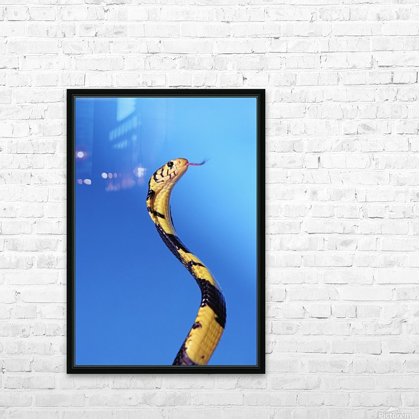 Forest cobra (naja melanoleuca) against a blue background;British columbia canada HD Sublimation Metal print with Decorating Float Frame (BOX)