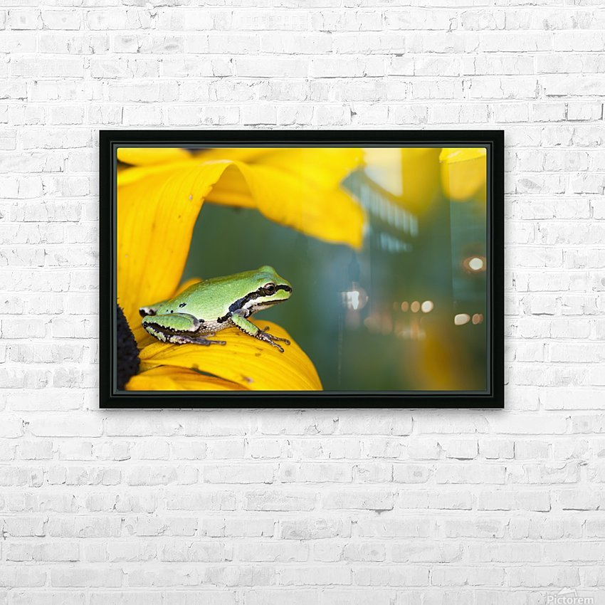 A Pacific Tree Frog (Pseudacris Regilla) Hunts For Insects On A Rudbeckia Blossom; Astoria, Oregon, United States Of America HD Sublimation Metal print with Decorating Float Frame (BOX)