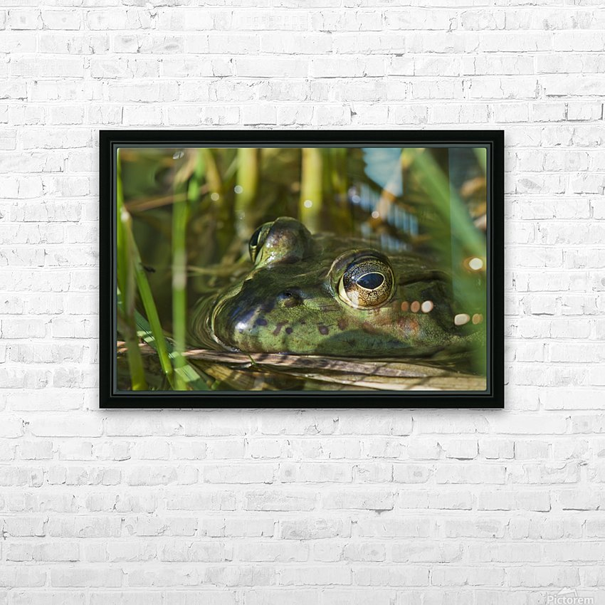 A bullfrog (Lithobates catesbeianus) rests in a pond; Astoria, Oregon, United States of America HD Sublimation Metal print with Decorating Float Frame (BOX)