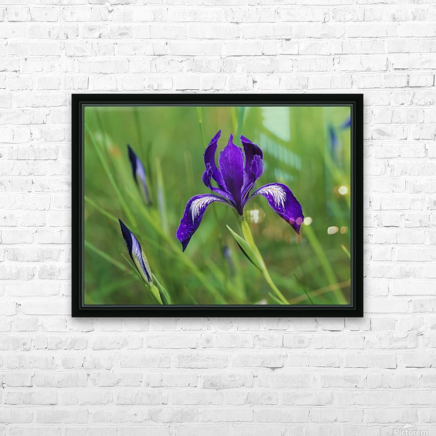 Oregon Iris (Iris tenax) blooms in the forest; Florence, Oregon, United States of America HD Sublimation Metal print with Decorating Float Frame (BOX)