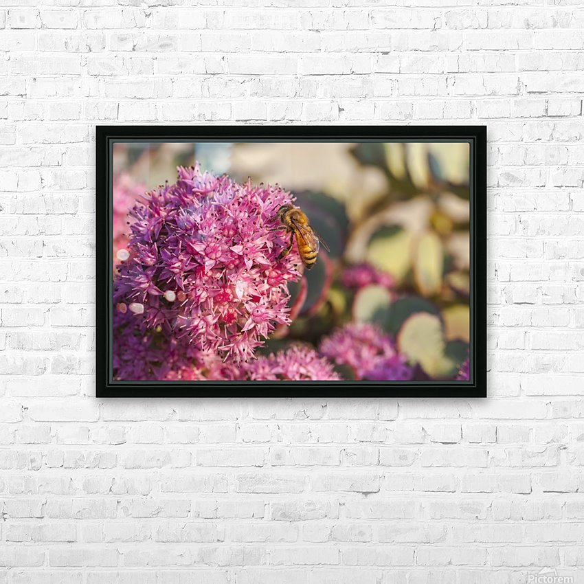 Honeybee on a dark pink Sedum flower (Apis mellifera); Toronto, Ontario, Canada HD Sublimation Metal print with Decorating Float Frame (BOX)