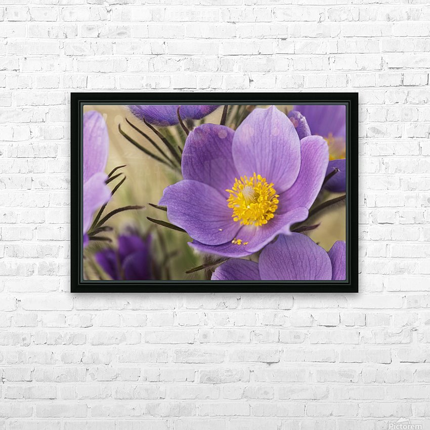 Crocus; Yukon, Canada HD Sublimation Metal print with Decorating Float Frame (BOX)