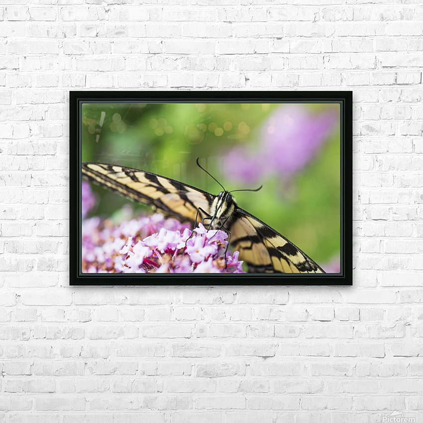 A swallowtail butterfly seeks nectar on a butterfly bush; Astoria, Oregon, United States of America HD Sublimation Metal print with Decorating Float Frame (BOX)