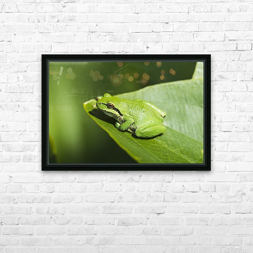 A Pacific Tree Frog (Pseudacris regilla) rests on a Wapato Leaf; Astoria, Oregon, United States of America HD Sublimation Metal print with Decorating Float Frame (BOX)
