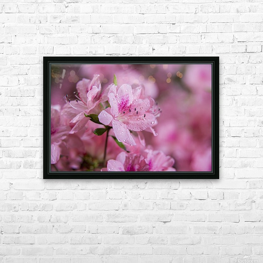 Pericat hybrid azaleas (Mrs. Fisher), Rhododendron (Ericaceae), New York Botanical Garden; New York City, New York, United States of America HD Sublimation Metal print with Decorating Float Frame (BOX)