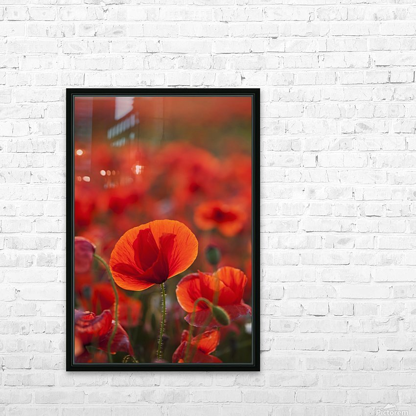 Common Poppy (Papaver rhoeas) covering an arable field; North Yorkshire, England HD Sublimation Metal print with Decorating Float Frame (BOX)
