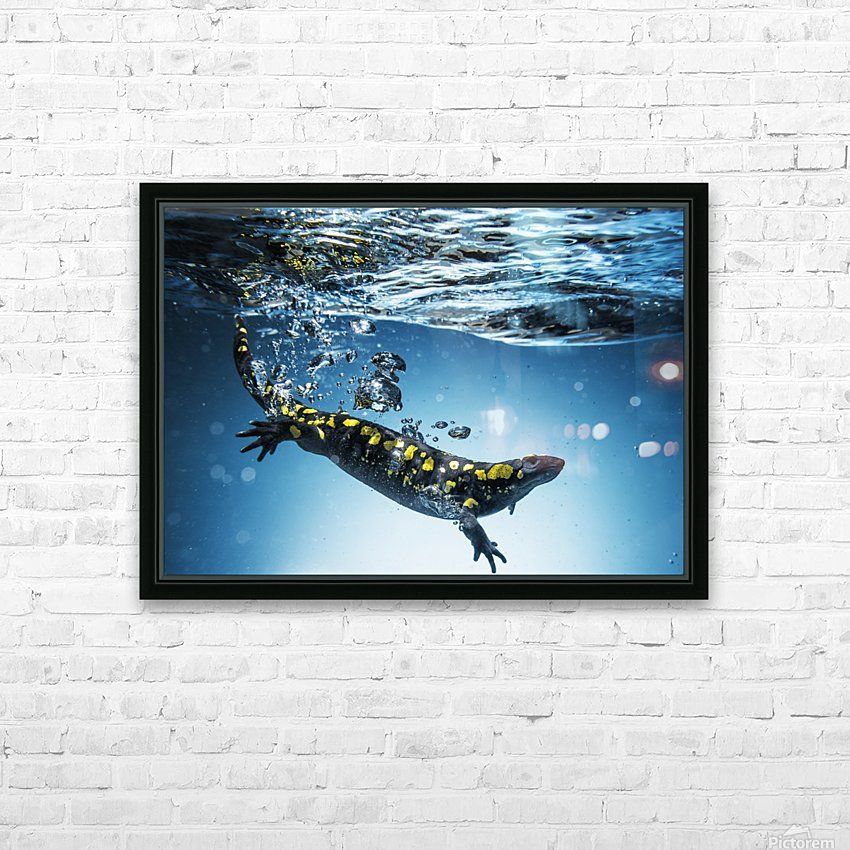 Salamander (Caudata) swimming in water; Tarifa, Cadiz, Andalusia, Spain HD Sublimation Metal print with Decorating Float Frame (BOX)