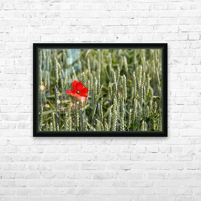 Close up of red poppy in a green wheat field; Brehec, Brittany, France HD Sublimation Metal print with Decorating Float Frame (BOX)