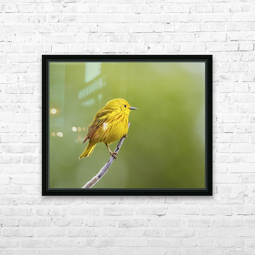 Yellow warbler (Setophaga petechia) perched during spring time; Chateauguay, Quebec, Canada HD Sublimation Metal print with Decorating Float Frame (BOX)