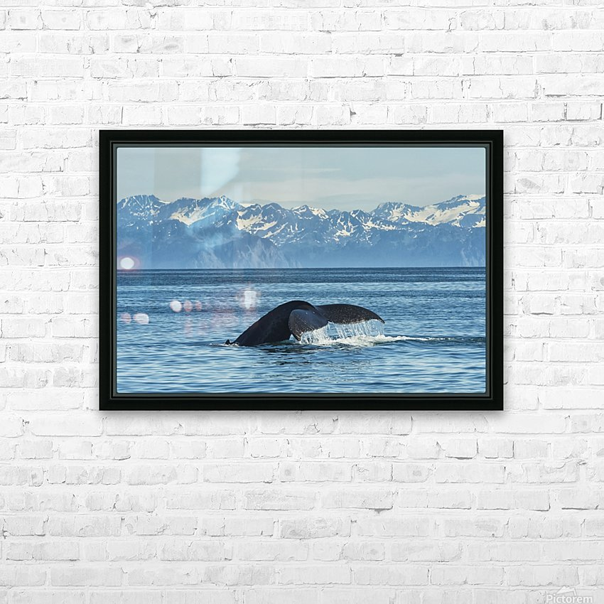 Humpback whale (Megaptera novaeangliae) in Seward harbour; Seward, Alaska, United States of America HD Sublimation Metal print with Decorating Float Frame (BOX)