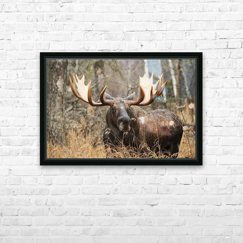 Bull moose (alces alces) in rutting season; Anchorage, Alaska, United States of America HD Sublimation Metal print with Decorating Float Frame (BOX)