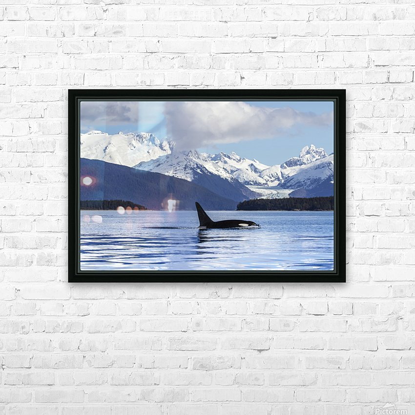 An Orca Whale (Killer Whale) (Orcinus orca) surfaces in Lynn Canal, Herbert Glacier, Inside Passage; Alaska, United States of America HD Sublimation Metal print with Decorating Float Frame (BOX)